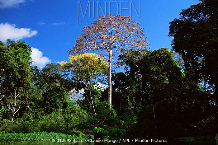 Flooded rainforest with (Sterculia elata) tree, Varzea, Amazonas, Brazil Mamiraua Ecol  -  Luiz Claudio Marigo/ npl