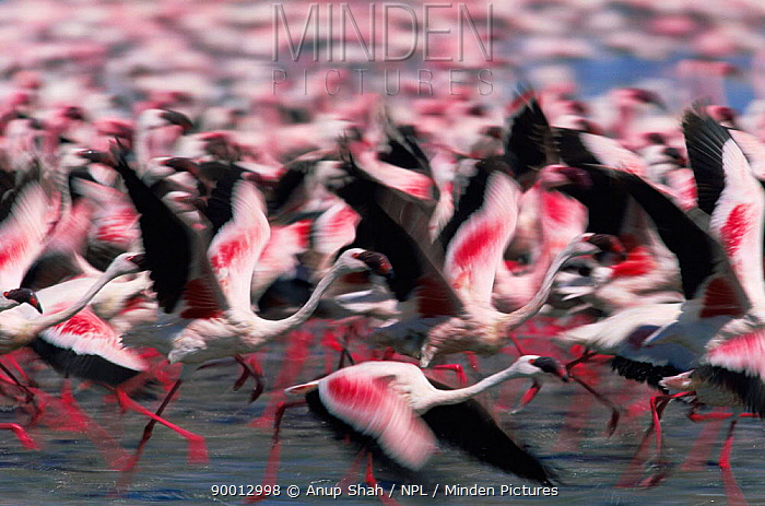 Abstract shot of Lesser flamingos (Phoeniconaias minor) taking-off, Lake Nakuru, Kenya  -  Anup Shah/ npl