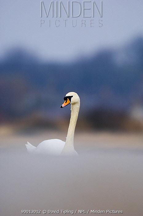 Mute Swan (Cygnus olor) portrait, Northumberland, United Kingdom  -  David Tipling/ npl