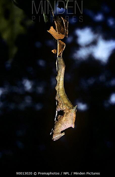 Caterpillar larva of nymphalid butterfly (Anaea sp) which hangs from a silk thread and resembles a shrivelled leaf, in rainforest, Peru  -  Premaphotos/ npl