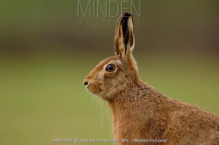 European Hare (Lepus europaeus) alert, Derbyshire, United Kingdom  -  Andrew Parkinson/ npl