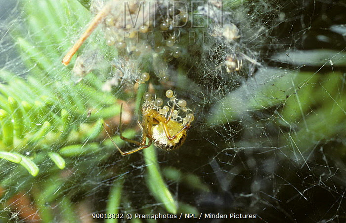 Mothercare spider (Theridion sisyphium) female feeding her babies mouth-to-mouth by regurgitating 'spider milk' for them, UK  -  Premaphotos/ npl