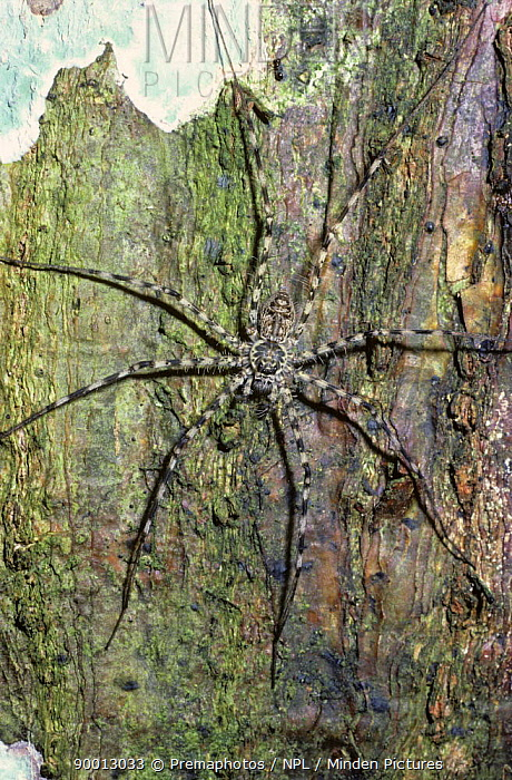 Spider (Trechalea sp) on a tree trunk in rainforest, Peru  -  Premaphotos/ npl