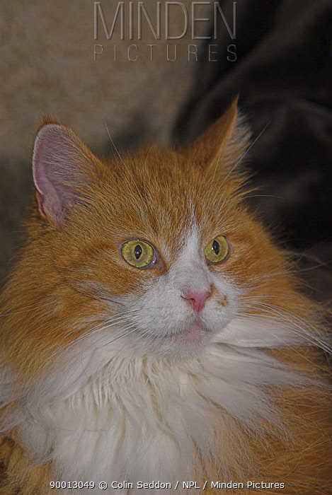Domestic Cat (Felis catus), United Kingdom  -  Colin Seddon/ npl
