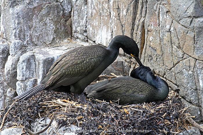 European Shag (Phalacrocorax aristotelis) pair at nest on rocks, Farne Is, United Kingdom  -  Dave Bevan/ npl