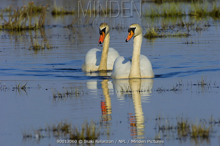 Mute Swan (Cygnus olor) pair on water, Hornborgasj�n Lake, Sweden  -  Inaki Relanzon/ npl