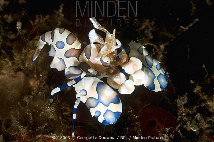 Harlequin shrimp (Hymenocera elegans) Bali, Indonesia  -  Georgette Douwma/ npl