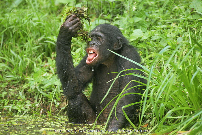 Bonobo (Pan paniscus) sponge drinking, squeezing lake weed and dripping out water into mouth Lola Ya Bonobo Sanctuary, Kinshasa, Democratic Republic of Congo  -  Karl Ammann/ npl