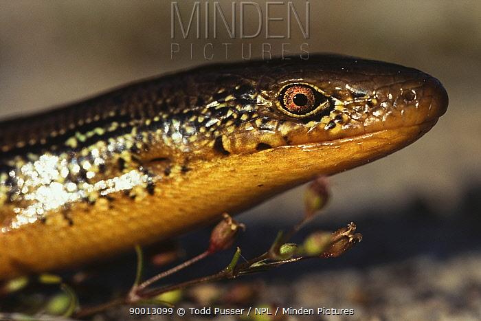 Head of Eastern glass lizard (Ophisaurus ventralis) North Carolina, USA  -  Todd Pusser/ npl