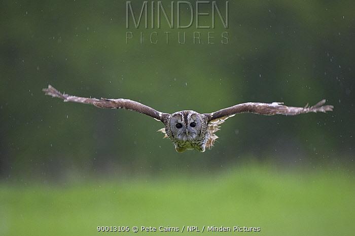 Tawny Owl (Strix aluco) hunting, Cairngorms National Park, Scotland United Kingdom  -  Pete Cairns/ npl