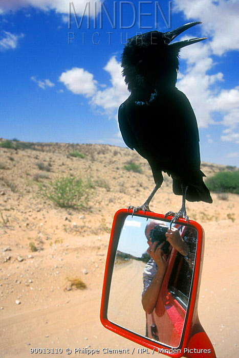Black crow, Cape crow (Corvus capensis) hitching a ride on car mirror, Kgalagadi NP, Kalahari, South Africa  -  Philippe Clement/ npl