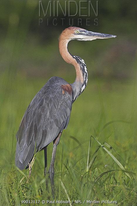 Goliath Heron (Ardea goliath) standing in reeds, Kenya  -  Paul Hobson/ npl
