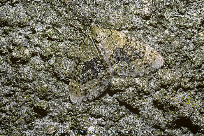 Yellow-barred Brindle Moth (Acasis viretata) well camouflaged on a rock in daytime, UK  -  Premaphotos/ npl