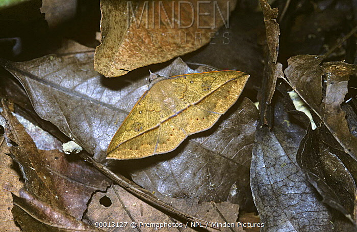Moth (Epitausa rubripuncta) resembling a dead leaf in Amazonian rainforest, Brazil  -  Premaphotos/ npl