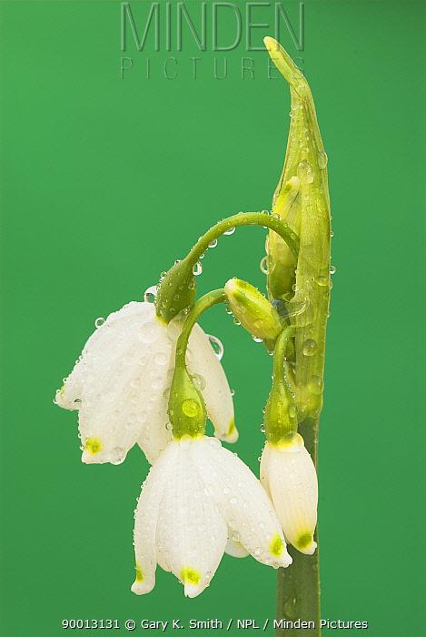Summer Snowflake (Leucojum aestivum) flowers covered with dew, United Kingdom  -  Gary K. Smith/ npl