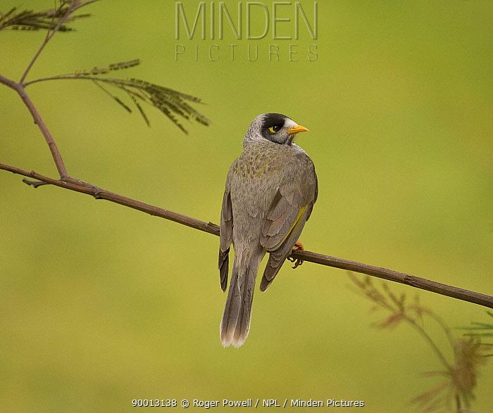 Noisy Miner (Manorina melanocephala) looking back over shoulder, Victoria, Australia  -  Roger Powell/ npl