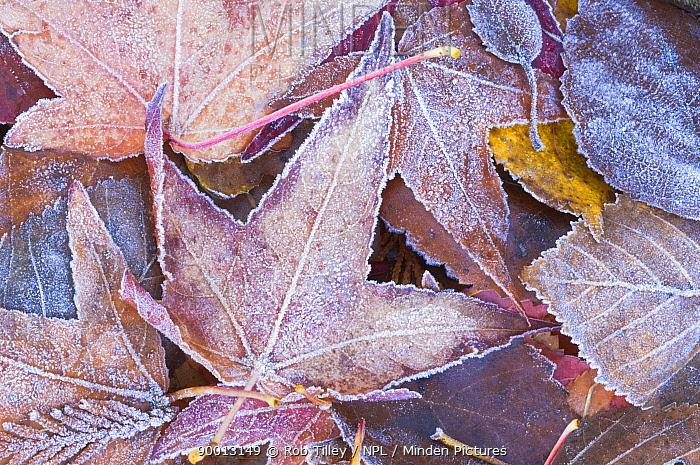 Frost on fallen Autumn Leaves, Washington, USA  -  Rob Tilley/ npl