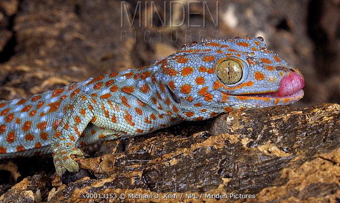 The Tokay gecko (Gekko gecko) licking, captive, from Asia  -  Michael D. Kern/ npl