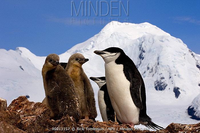 Chinstrap Penguin (Pygoscelis antarctica) Adult and juvenile in Half Moon Bay, Antarctica  -  Rick Tomlinson/ npl