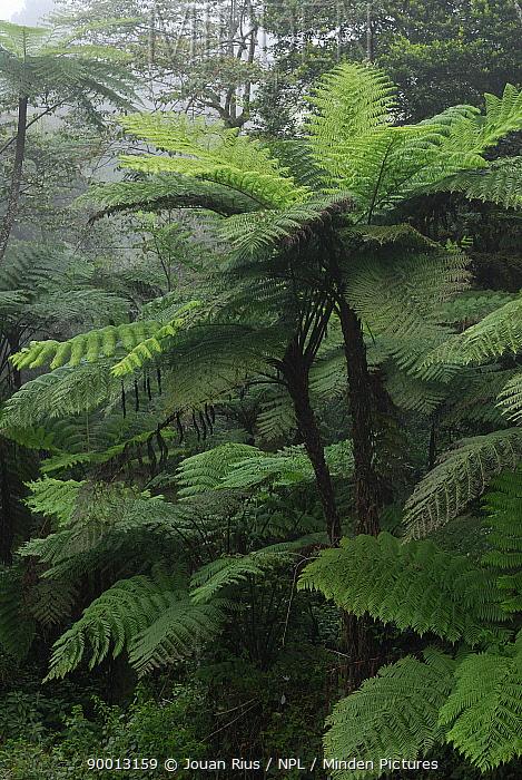 Tree ferns (Cythea sp) in mist, Eugella National Park, Queensland, Australia  -  Jouan & Rius/ npl