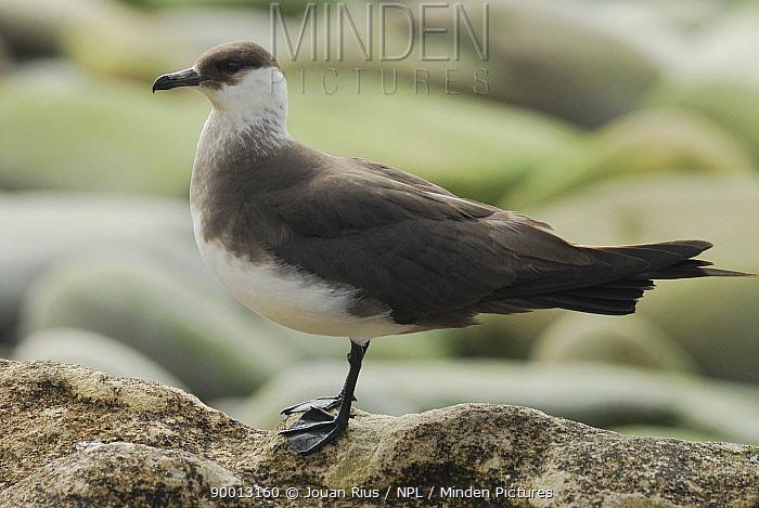 Arctic Skua (Stercorarius parasiticus), Shetland Islands, Scotland United Kingdom  -  Jouan & Rius/ npl