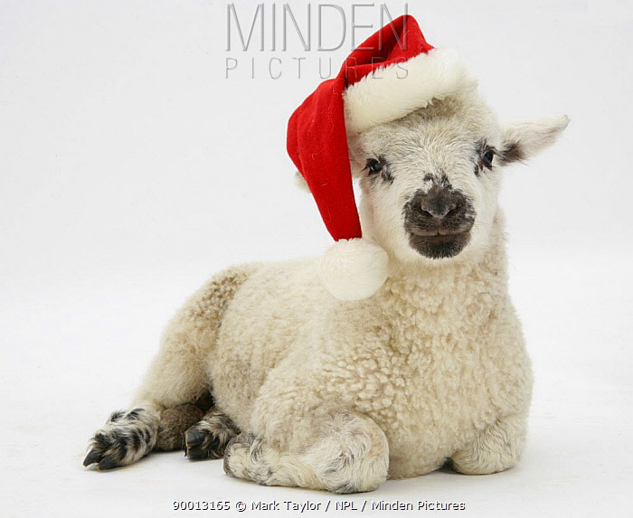 Domestic Sheep (Ovis aries)Lamb wearing a Father Christmas hat  -  Mark Taylor/ npl