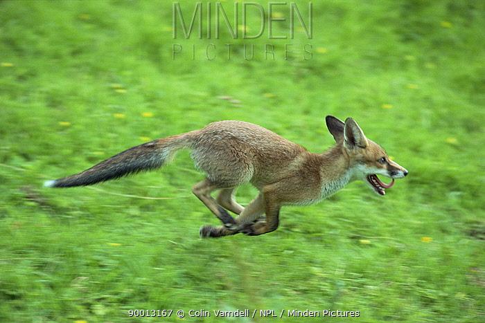 Red Fox (Vulpes vulpes) running, United Kingdom  -  Colin Varndell/ npl