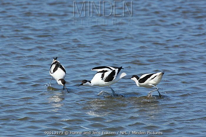Pied Avocet (Recurvirostra avosetta) seeking food and fighting, Siltoft, Germany  -  Hanne & Jens Eriksen/ npl