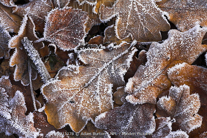 Frosted leaves on heathland, New Forest National Park, Hampshire, England  -  Adam Burton/ npl