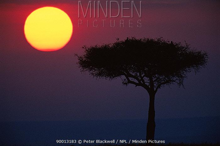 Ballanites tree silhouetted at sunrise, Masai Mara NR, Kenya  -  Peter Blackwell/ npl
