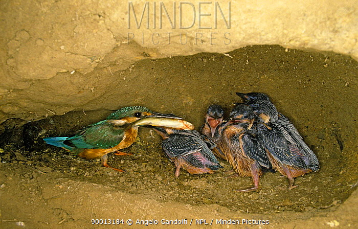 Common Kingfisher (Alcedo atthis) feeding fish to 14-day old chicks in nest, Scrivia river, Italy  -  Angelo Gandolfi/ npl