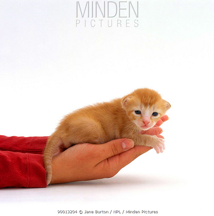 Domestic Cat (Felis catus)Person holding Domestic Cat, 2-week kitten Red, in hand, offspring of Pansy  -  Jane Burton/ npl