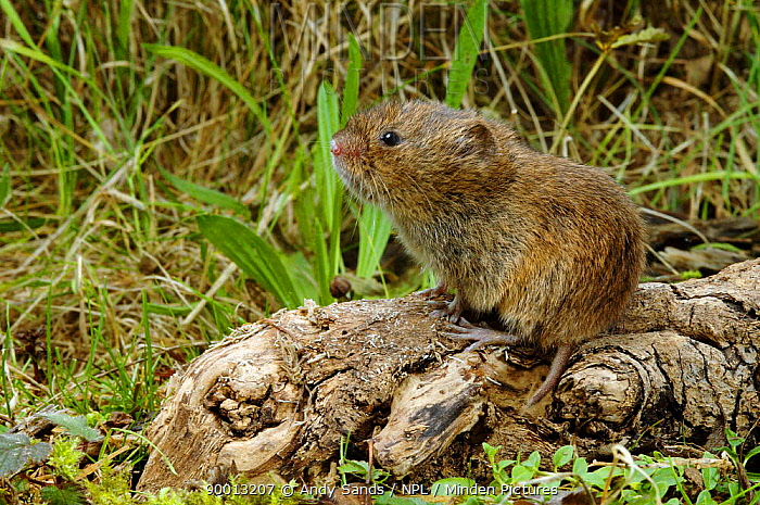 Field Vole (Microtus agrestis) on tree root with chewed bark,  -  Andy Sands/ npl
