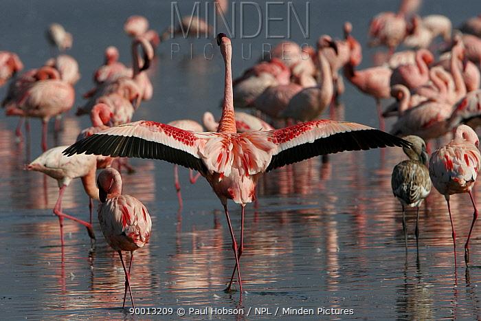 Rear view of Lesser Flamingo (Phoenicopterus minor) stretching wings, Lake Nakuru, Kenya  -  Paul Hobson/ npl