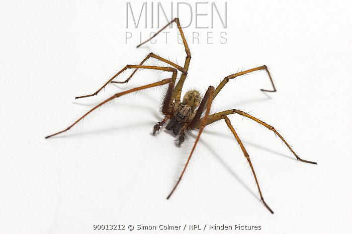 Large House Spider (Tegenaria gigantea)  -  Simon Colmer/ npl