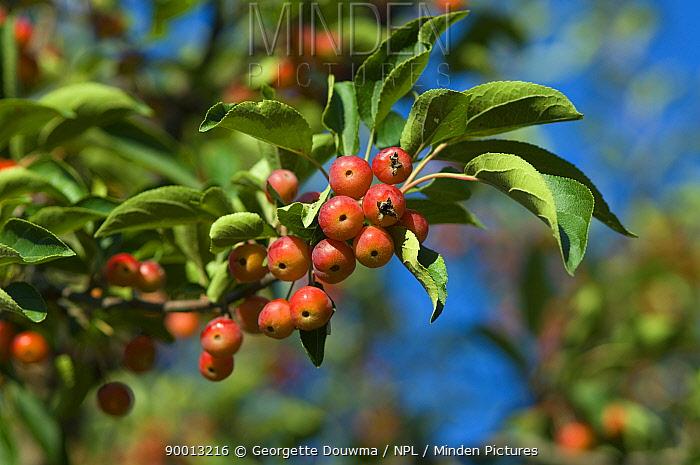 Cherries on tree (Prunus sp) Regents Park, London, UK  -  Georgette Douwma/ npl