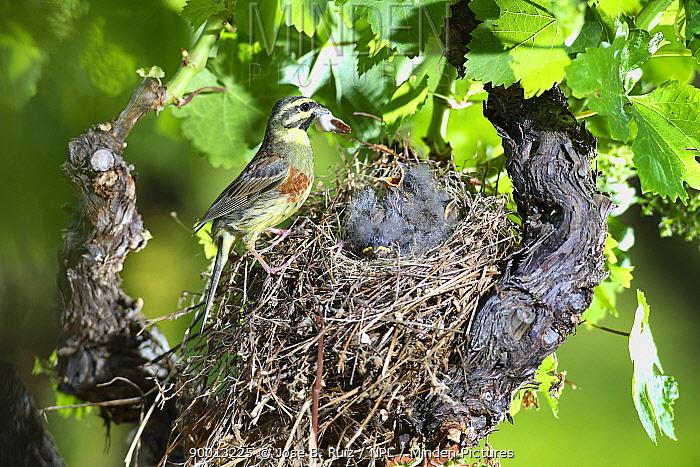Cirl Bunting (Emberiza cirlus) male feeding chicks at nest, in vinyard, Potes, Picos de Europa, Asturias, Spain  -  Jose B. Ruiz/ npl