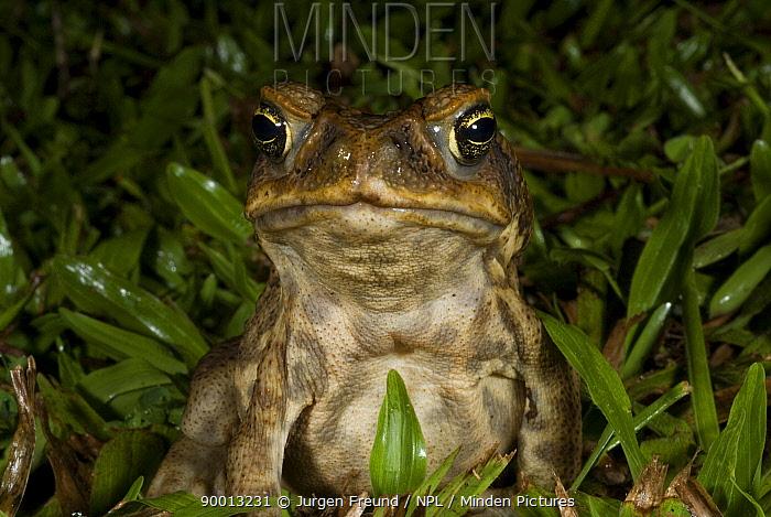 Cane Toad (Bufo marinus), an introduced species in Queensland, Australia  -  Jurgen Freund/ npl
