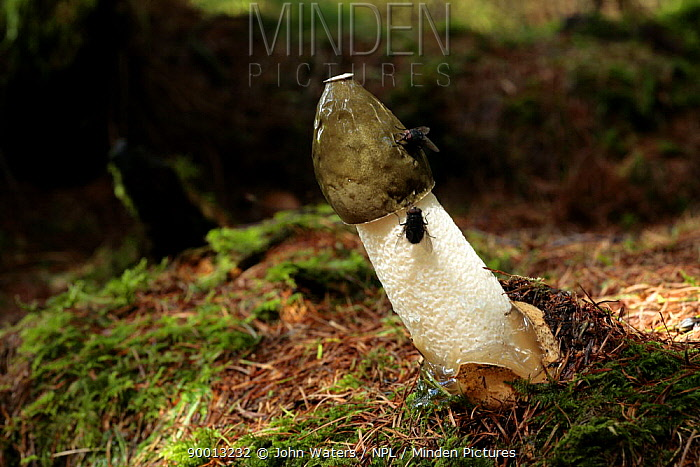 Common Stinkhorn (Phallus impudicus) with (foul smelling) liquid coat on cap, which attracts flies that disperse the spores, Larch woodland plantation, Mendips, Somerset, United Kingdom sequence 2, 7  -  John Waters/ npl