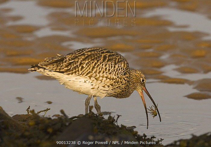 Eurasian Curlew (Numenius arquata) catching crab and tossing it into the air for a better grip, Lindisfarne Is, Northumberland, United Kingdom  -  Roger Powell/ npl