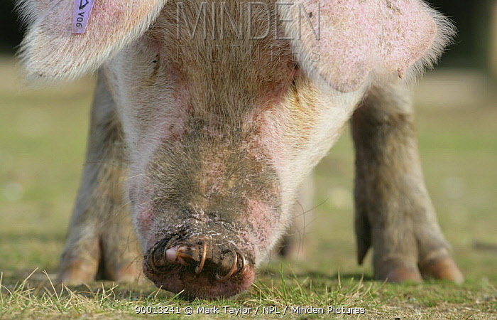 Domestic Pig (Sus scrofa domestica) grazing, with rings in its nose New Forest, Hampshire, UK  -  Mark Taylor/ npl