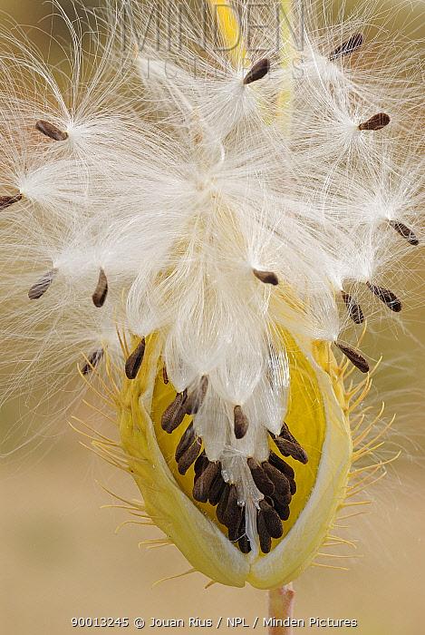 Milkweed (Asclepias) seed pods, Kgalagadi Transfrontier Park, Kalahari desert, South Africa  -  Jouan & Rius/ npl