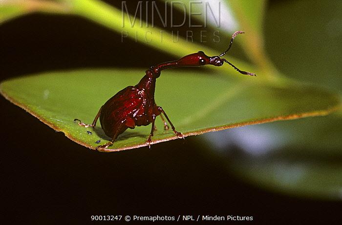 Leaf-rolling weevil (Paraploderus castaneus) in rainforest, Madagascar  -  Premaphotos/ npl