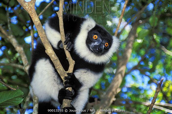 Black And White Ruffed Lemur (Varecia variegata variegata) in tropical rainforest, Andasibe-Mantadia National Park, Madagascar  -  Jouan & Rius/ npl