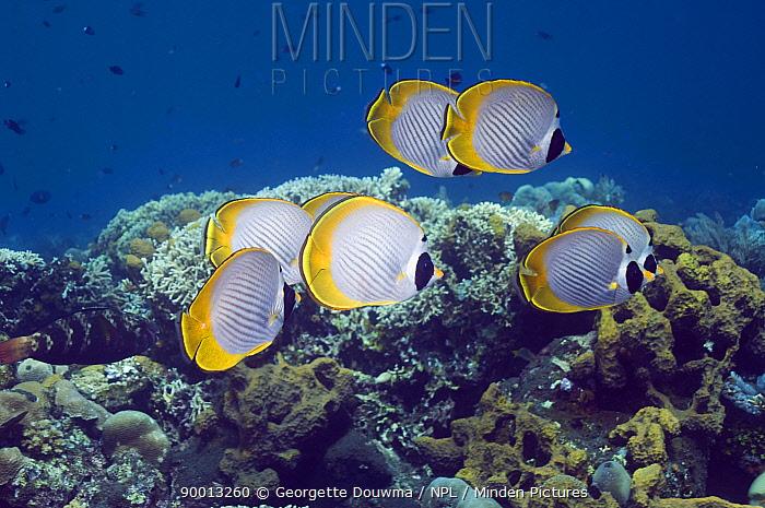 Eyepatch Butterflyfish (Chaetodon adiergastos) schooling over coral reef Indonesia  -  Georgette Douwma/ npl