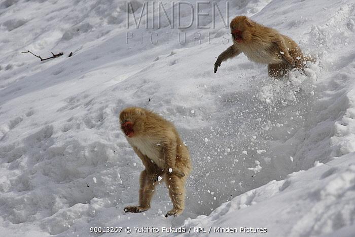 Japanese Macaque (Macaca fuscata) two young monkey play in deep snow, Jigokudani, Nagano, Japan  -  Yukihiro Fukuda/ npl
