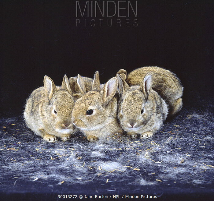 European Rabbit (Oryctolagus cuniculus) five babies, 15-days, United Kingdom  -  Jane Burton/ npl