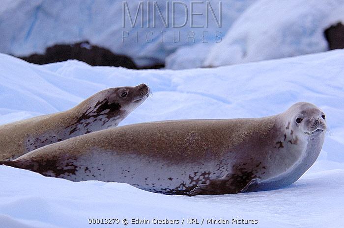 Crabeater Seal (Lobodon carcinophagus) on ice, Antarctica  -  Edwin Giesbers/ npl