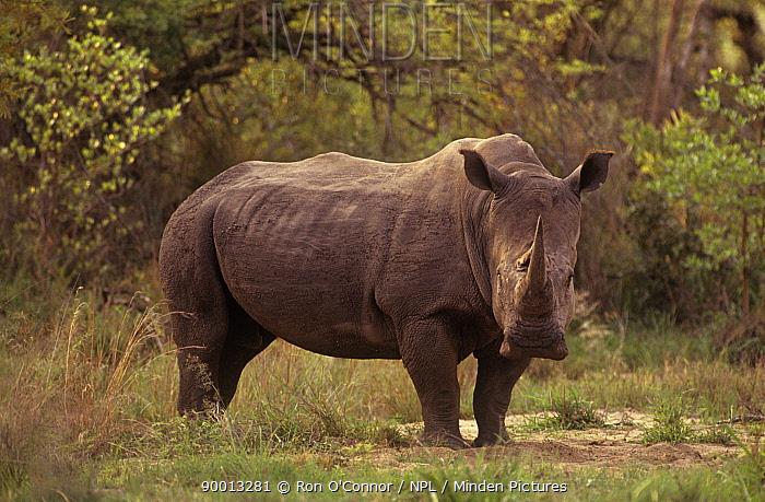 White Rhinoceros (Ceratotherium simum) male, alert Kruger National Park, South Africa  -  Ron O'Connor/ npl