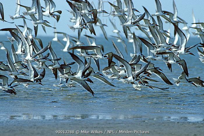 Black skimmer flock flying over sea (Rynchops nigra) Texas USA  -  Mike Wilkes/ npl